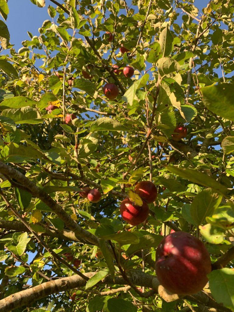 hanging apples at the secret campsite