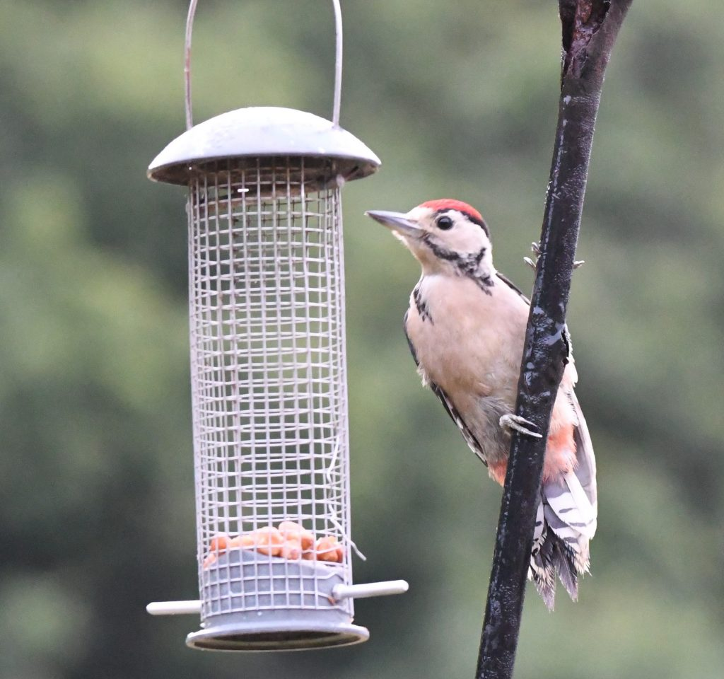 woodpecker big garden bird watch