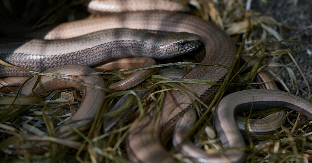 Cluster of slow worms at The Secret Campsite