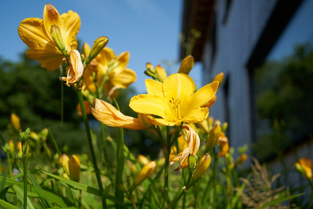 Edible day lilies at the Secret Campsite Sussex