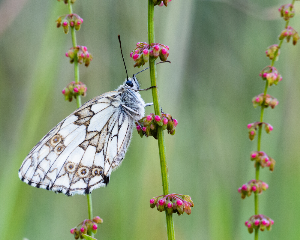 Marbled White Butterfly at The Secret Campsite by Colin Gibbs