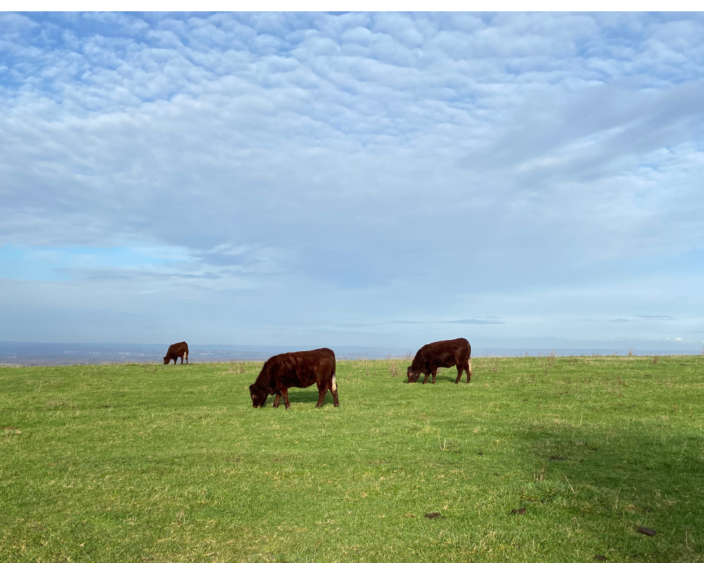Cows grazing on the South Downs near Plumpton